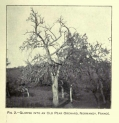 Fig. 2- Glimpse into an Old Pear Orchard, Normandy, France