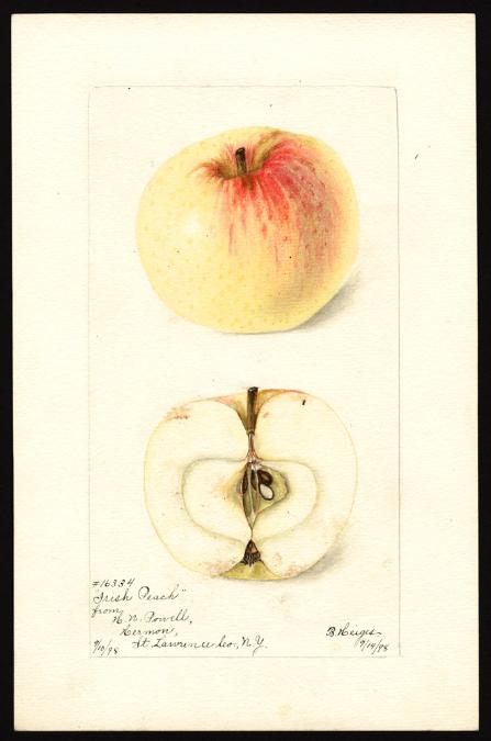 POM00000409 Irish Peach