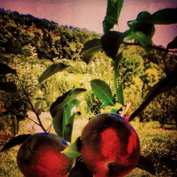 In The Orchard At Vintage Virginia Apples