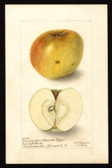 Yellow Newton (Albemarle Pippin)